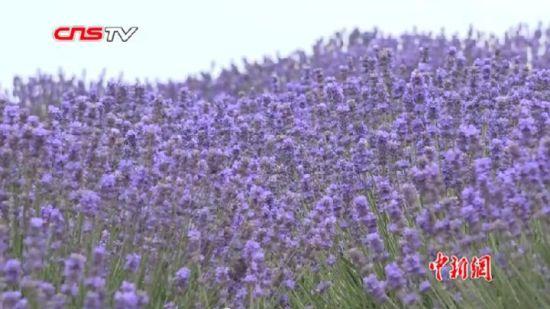 新疆伊犁薰衣草单体连片种植面积世界第一 将打造全产业生态链