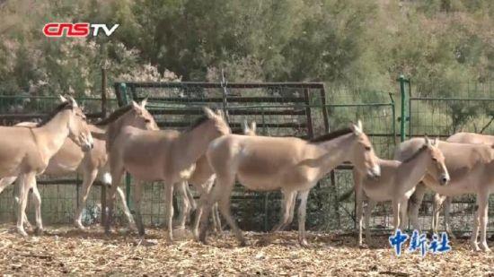新疆50万亩荒漠植树造绿 吸引蒙古野驴重返栖息地
