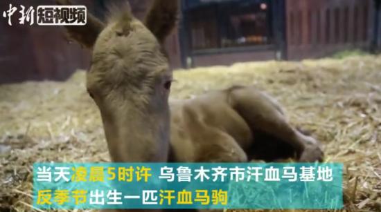 新疆反季节出生汗血马驹 家族血统高贵颜值更高