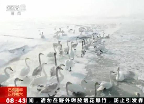 新疆湿地看天鹅 浪漫画卷饱眼福