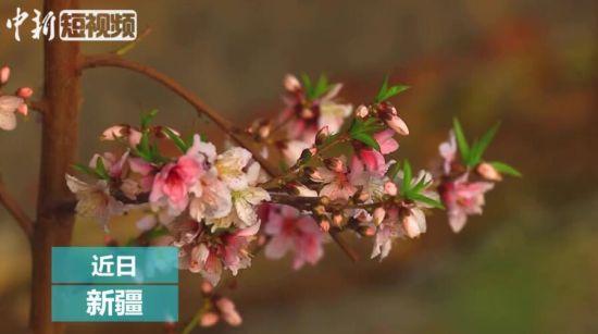 新疆托克逊大棚内春来早 桃花杏花竞相盛开
