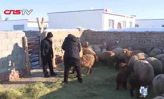 新疆牧民给羊买保险 2.8万只羊将参保