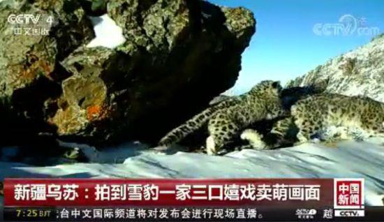 新疆乌苏拍到雪豹一家三口嬉戏卖萌画面