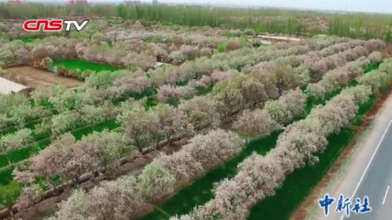 新疆英吉沙县15万亩杏花盛开 杏花节助力农民增收