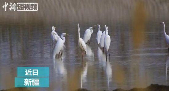 南来归鸟 为新疆托克逊县白杨河畔增添春色