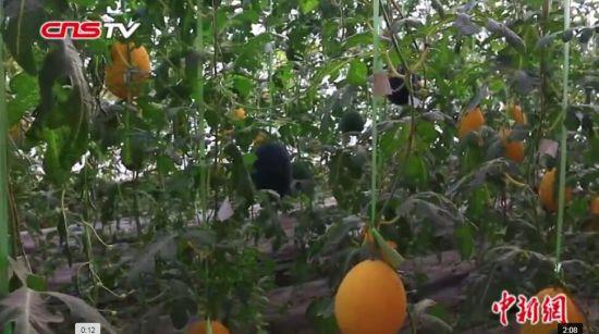 """新疆托克逊农民""""牛奶西瓜""""供不应求 预计年收入三十多万元"""