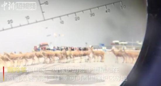 可可西里藏羚羊大规模回迁结束 回迁数量比2018年增加338只