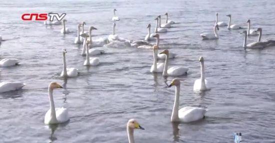 新疆:游客邂逅美丽天鹅 留下最美回忆