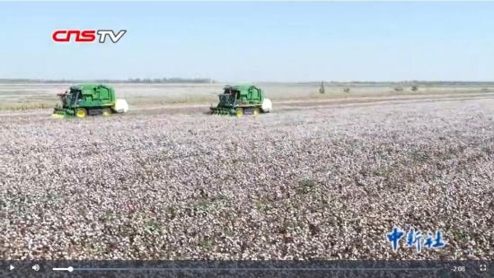 新疆棉花大面积采摘期 部分地区已罕见采棉工