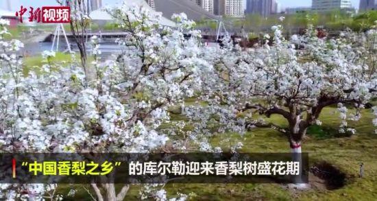 """""""中��香梨之�l(xiang)""""新疆���(er)勒市迎�硐憷婊ㄆ� 梨花�相盛(sheng)�_"""