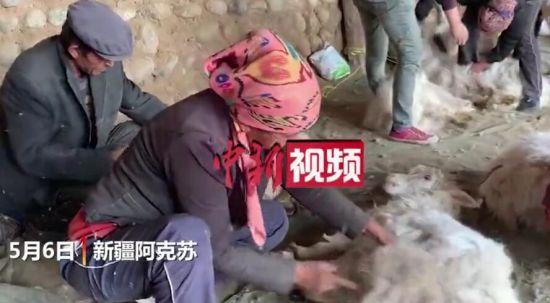 ��拍(pai)新疆南部(bu)村落��(chuan)�y抓羊�q 小羊叫�惹人疼(teng)