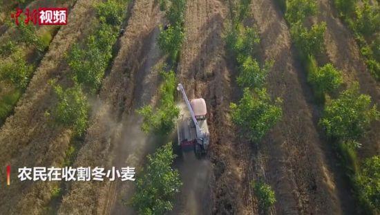 航拍新疆1000余万亩冬小麦开镰收割