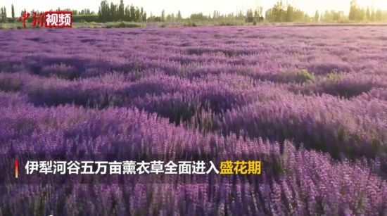 新疆薰衣草进入盛花期 犹如置身童话世界