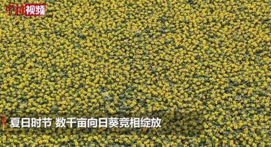 新疆博湖县数千亩向日葵花开成海