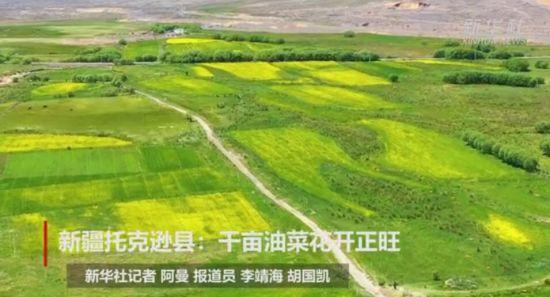 新疆托克逊县:千亩油菜花开正旺
