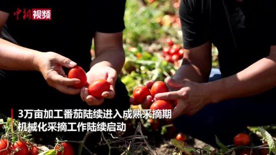 开眼界 新疆三万亩番茄全自动机械化采摘