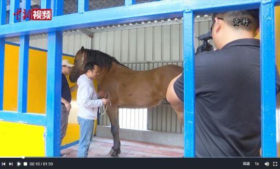 福建下海救人第三匹马已痊愈 目前正在休养