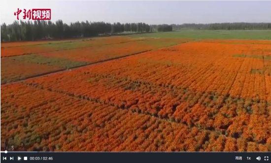 新疆莎车县万寿菊产业助力8万户农民致富增收