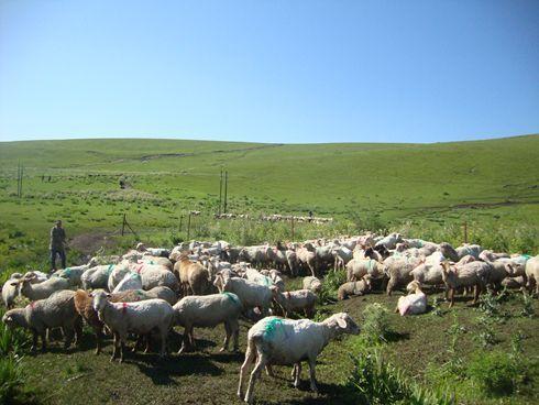第四师七十七团8万只羊夏季药浴工作全面展开