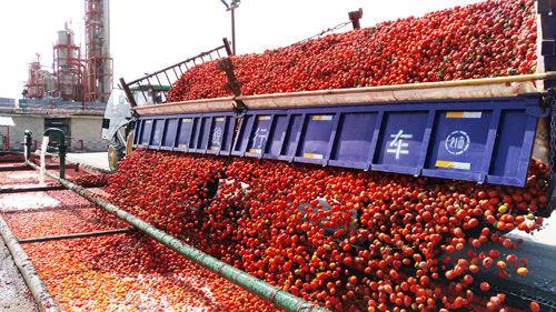 第二师二十一团番茄产业红红火火