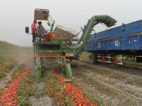 第二师二十七团90%番茄实现机械化采收