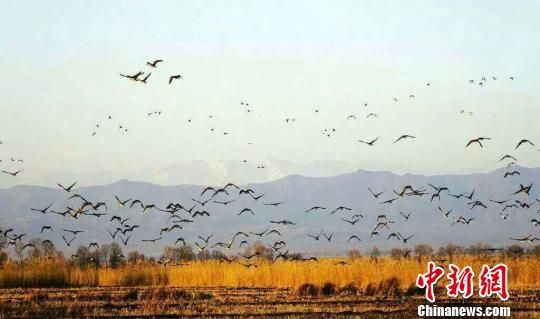 """新疆那拉提国家湿地公园现""""白鹭齐飞""""壮观景象"""