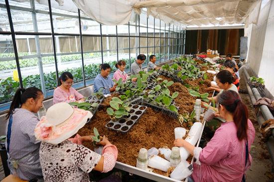 兵团第一师十团蝴蝶兰种苗种植见效益 俏销疆内外