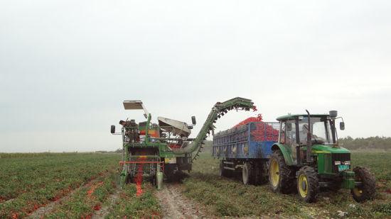 第六师芳草湖农场3.5万亩番茄开机采摘
