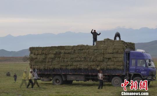 新疆伊犁千万亩草场进入收割季