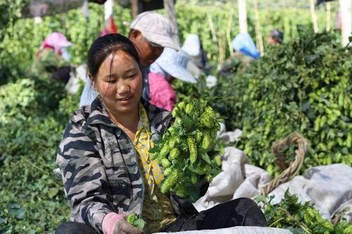 第二师二十七团发展特色经济作物助职工增收