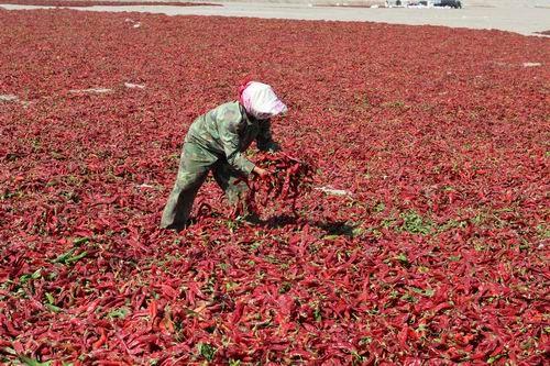 第二师10.8万亩辣椒开始全面采收晾晒