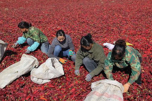 第二师二十二团抢时开展辣椒销售工作