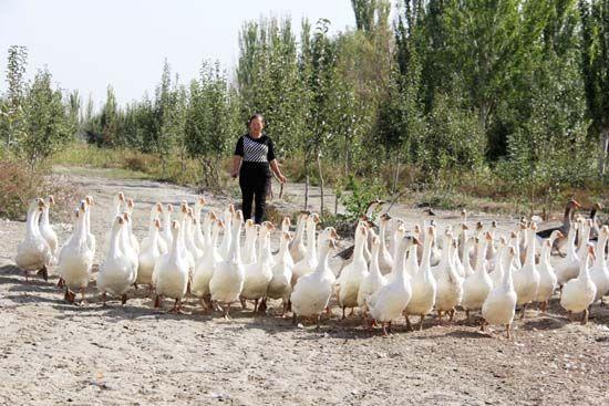 第二师三十团职工特禽养殖年纯收入超十万元