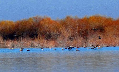 第四师六十七团吉林水库迎来大批迁徙水鸟