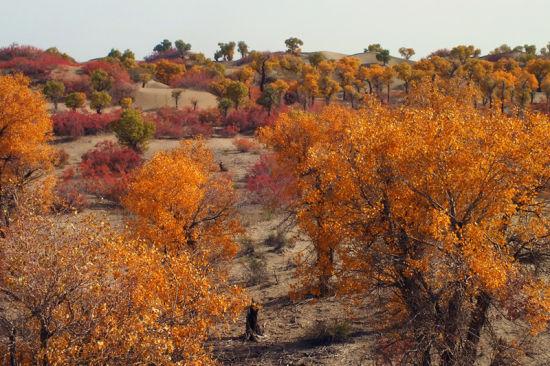 新疆塔里木河沿岸百万亩胡杨披黄挂金醉游人