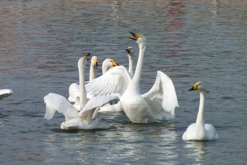 越冬天鹅连续11年在新疆库尔勒演绎醉美冬韵