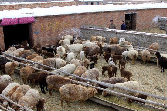 第十师一八一团迎来产羔高峰期 现已产羔2.6万余只