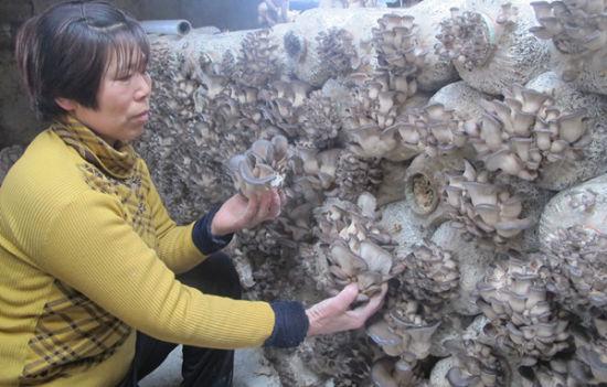 第八师一四三团十八连女职工李英冬闲培育食用菌增收