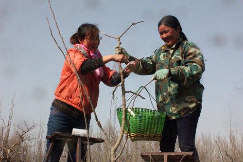 三十团技术人员现场为新职工传授果树嫁接技术