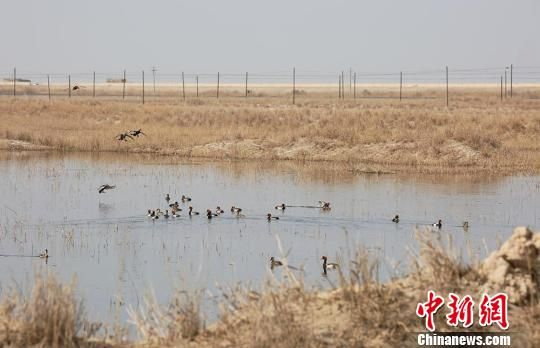 新疆塔克拉玛干沙漠边缘湿地成野生飞鸟乐园