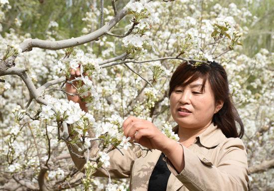 二十九团6.9万亩香梨园梨花争相绽放职工疏花忙