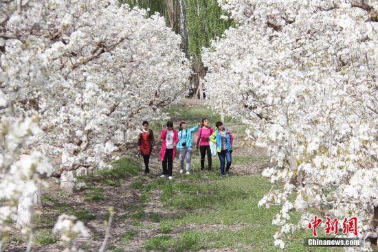 新疆兵团第二师13万亩梨花怒放迎春