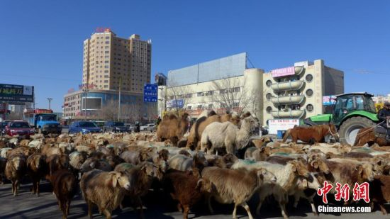 新疆北部牧民春季转场从城市穿过