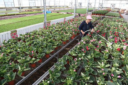 第四师七十团谊群设施农业园区花卉添新品
