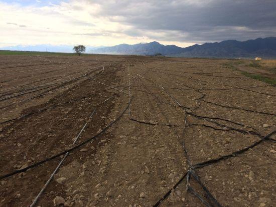八十四团遭受风灾袭击作物农膜和滴灌带损失严重