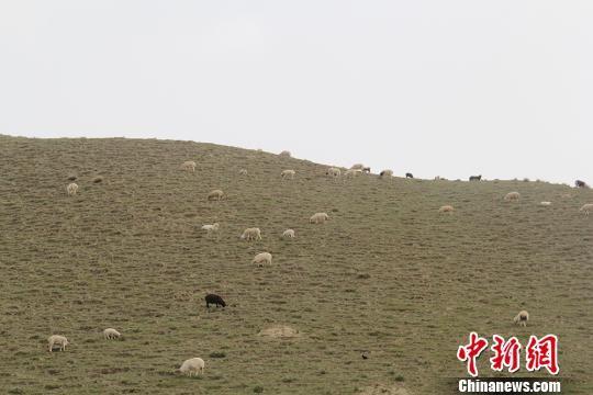新疆昆仑山海拔3000米处牛羊满山坡