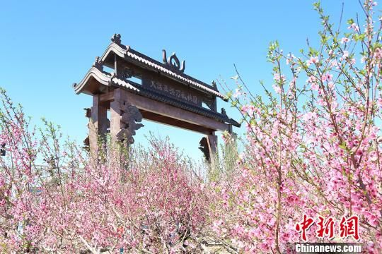 五月中旬新疆乌鲁木齐周边万亩桃园花开正艳