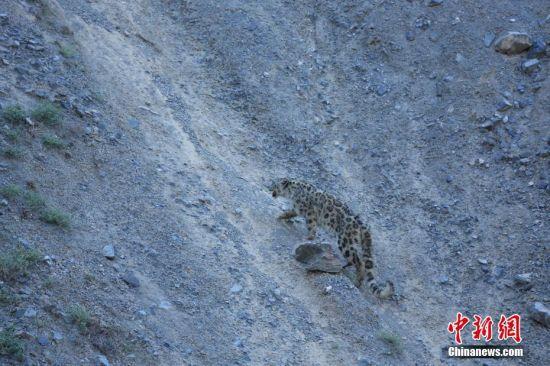 新疆受伤雪豹康复后被放归天山