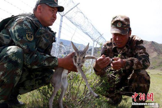 新疆阿勒泰边防官兵救助野生黄羊幼崽