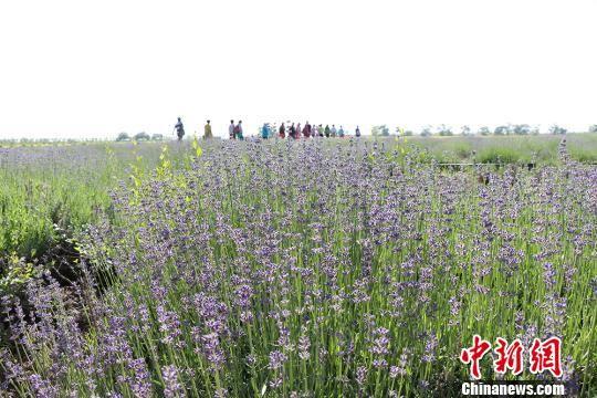新疆兵团农场薰衣草、油菜花大面积盛放迎客